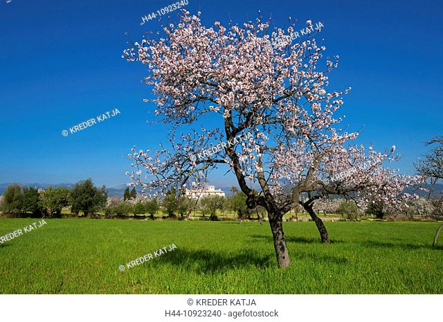 Majorca, Mallorca, Balearic Islands, island, isle, islands, isles, Spain, Europe, Spanish, Europe, European, outdoors, outside, day, nobody, almond blossom