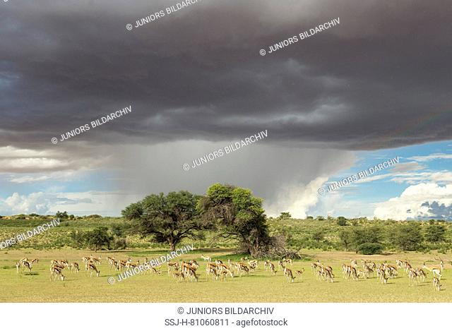Springbok (Antidorcas marsupialis) Large herd grazing in the Auob riverbed with its camelthorn trees (Acacia erioloba. During the rainy season in green...