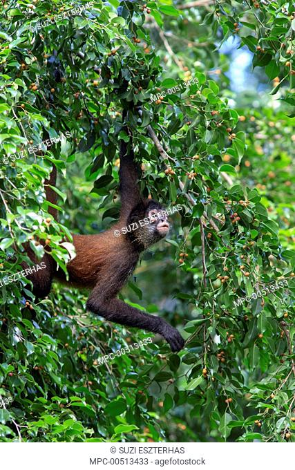 Black-handed Spider Monkey (Ateles geoffroyi) in tree, Osa Peninsula, Costa Rica
