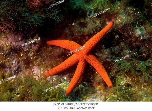 France marseille callelongue creek red starfish on a rock echinaster sepositus