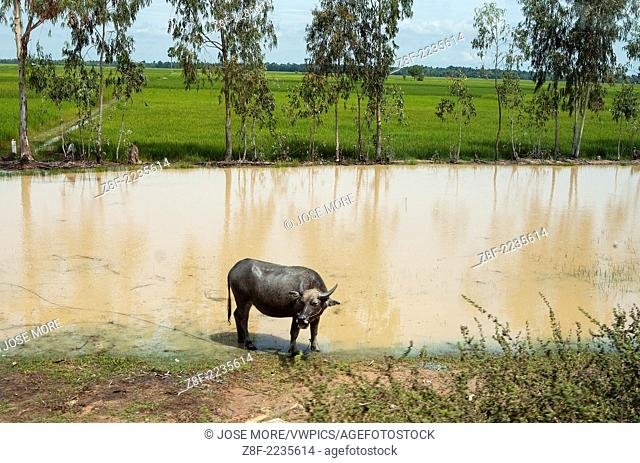 A water buffalo in rural Vietnam rice paddies