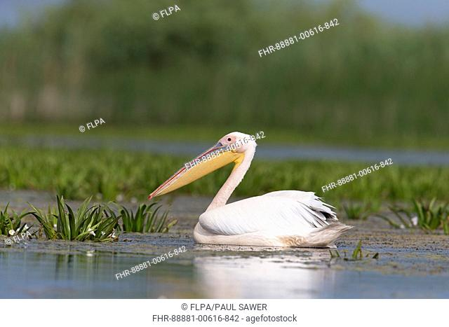 Great White Pelican (Pelecanus onocrotalus) adult, breeding plumage, swimming, Danube Delta, Romania, June