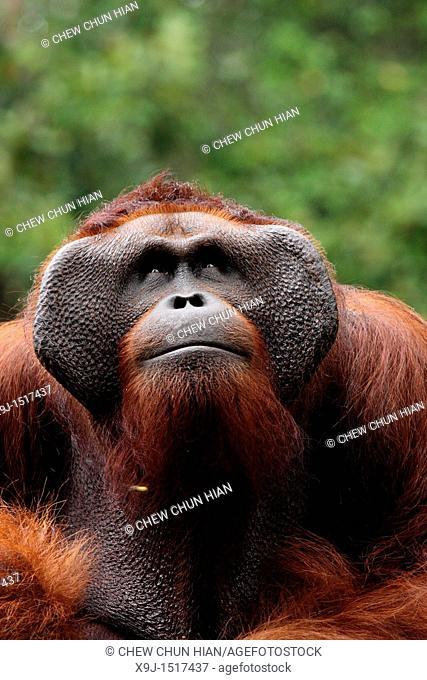 Ritchie lives in Semengoh Wildlife Centre, Kuching, Sarawak, Malaysia