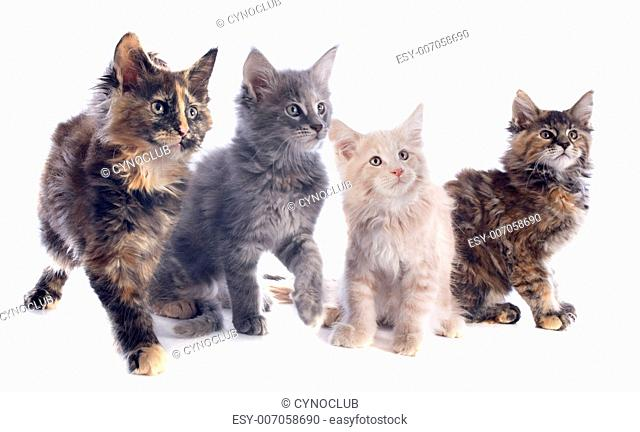 portrait of four purebred maine coon kitten on a white background