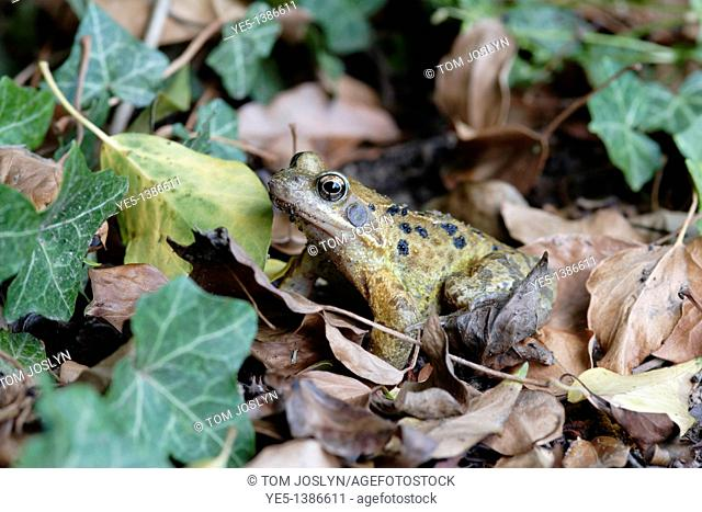 Common Frog Rana temporaria in leaves, England, UK