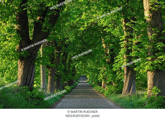 Germany, Mecklenburg-Western Pomerania, Alley, Chestnut tree Aesculus hippocastanum lined road