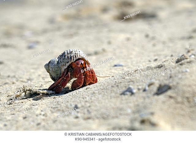 Hermit crab crawling up the sand at tropical beach, Reef Islands, Banks, Vanuatu, Melanesia, South Pacific