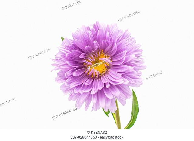 aster flower on a white background
