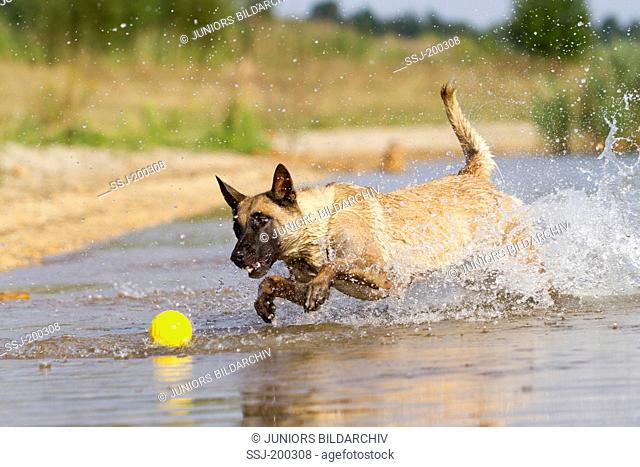 Belgian Shepherd, Malinois. Adult dog running through water in order to fetch a ball. Germany