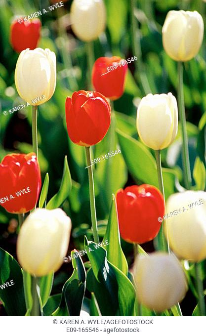 Red and white tulips, green stems as background
