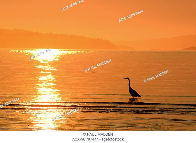 Great Blue heron, Ardea herodias, Vancouver Island near Sidney, BC