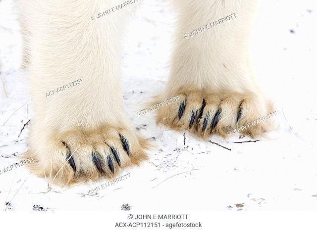 Polar bear, Ursus maritimus, feet, Cape Churchill, Manitoba, Canada