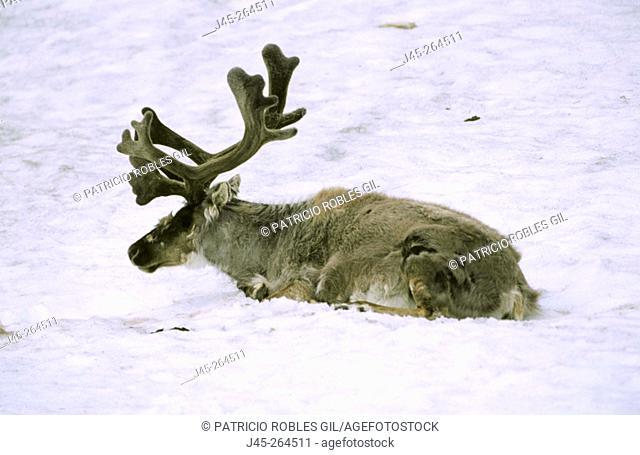 Svalbard Reindeer (Rangifer tarandus platyrhynchus). Svalbard. Norway