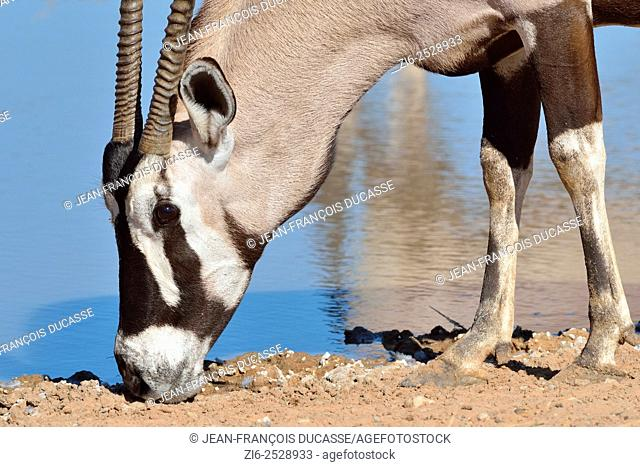 Gemsbok (Oryx gazella), licking minerals at a waterhole, Kgalagadi Transfrontier Park, Northern Cape, South Africa, Africa