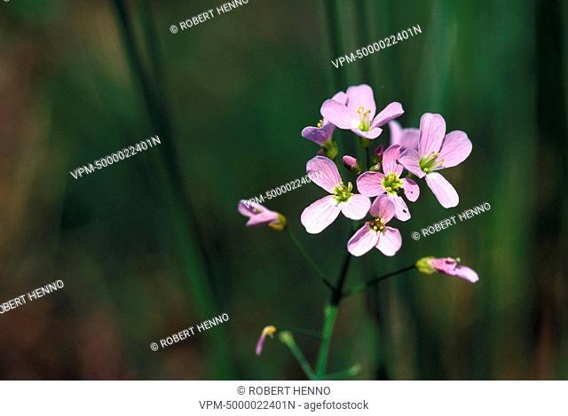 CARDAMINE PRATENSISCUCKOO FLOWER - LADY'S SMOCK - MILKMAID