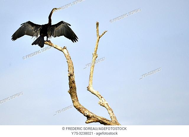 Glossy Ibis in flight,Prek Toal,Tonle Sap,Cambodia,South east Asia
