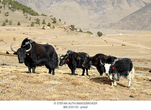 Yaks in front of forest of old juniper Juniperus trees at Reting monastery Tibet China