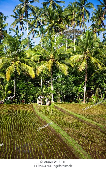 Rice Paddy Field, Bali, Indonesia