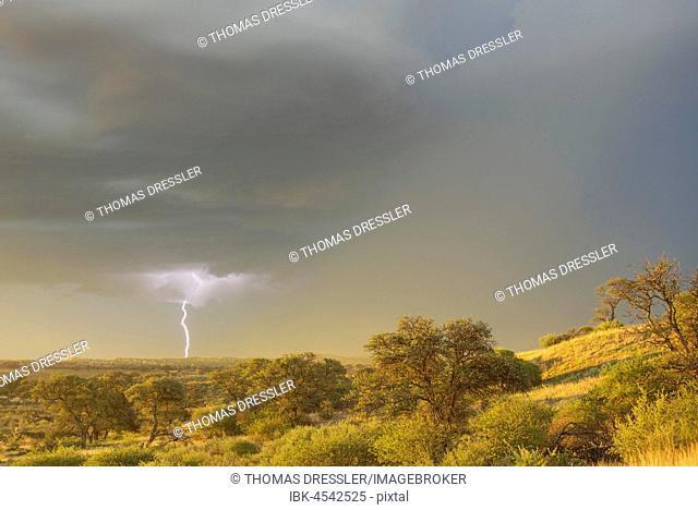 Grass-grown sand dune and Camelthorn trees (Acacia erioloba) in the Kalahari Desert, February, rainy season with thunderstorm and lightning