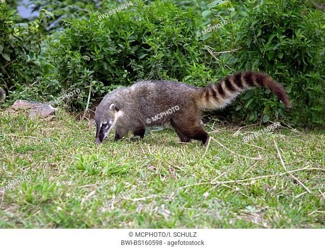 coatimundi, common coati, brown-nosed coati (Nasua nasua), on the feed, Brazil, Pantanal