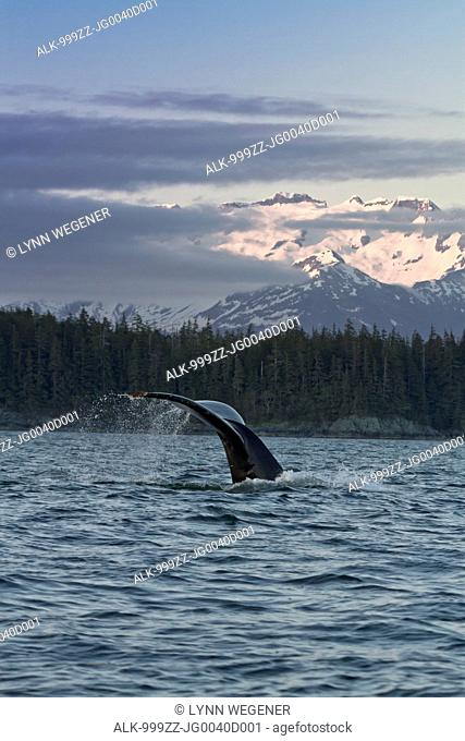 Close up of a Humpback Whale tale dripping water as the whale dives in Lynn Canal at sunset, Southeast Alaska, Summer