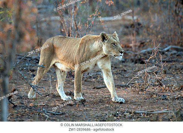 Female Lion walking, Kruger National Park, Transvaal, South Africa