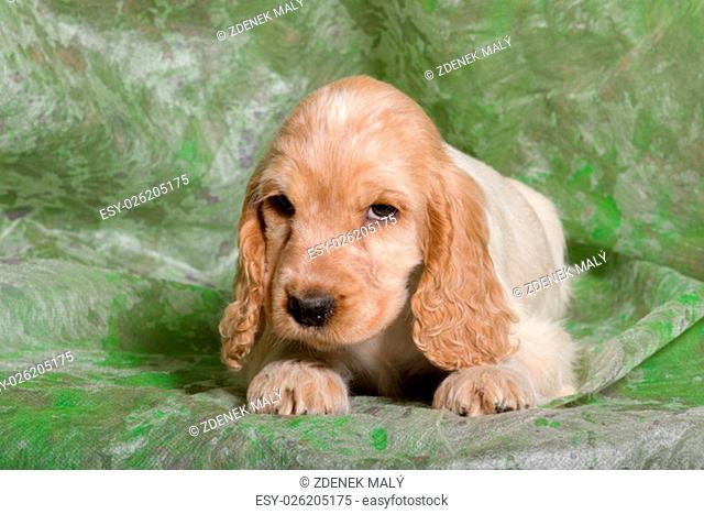 beige English Cocker Spaniel puppy on green background
