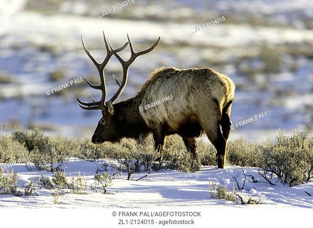 Elk Cervus elaphus on a snowy slope on the Columbia Blacktail Plateau. Wildlife of Yellowstone Park at Lamar Valley Mammoth Falls, Wyoming USA