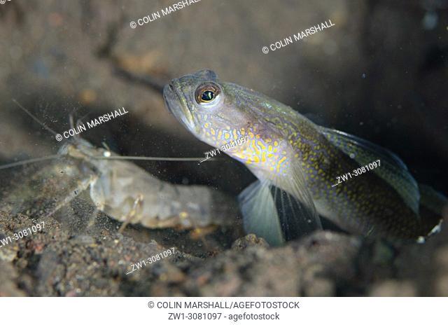 Male Dorsalspot Shrimpgoby (Vanderhorstia dorsomacula, Gobioidei family) with Snapping Shrimp (Alpheus sp. ) by hole in sand, Segara dive site, Seraya
