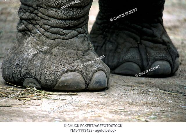 Elephant feet at Lincoln Park Zoo in Chicago. Concept would pertain to health & beauty or on firm ground