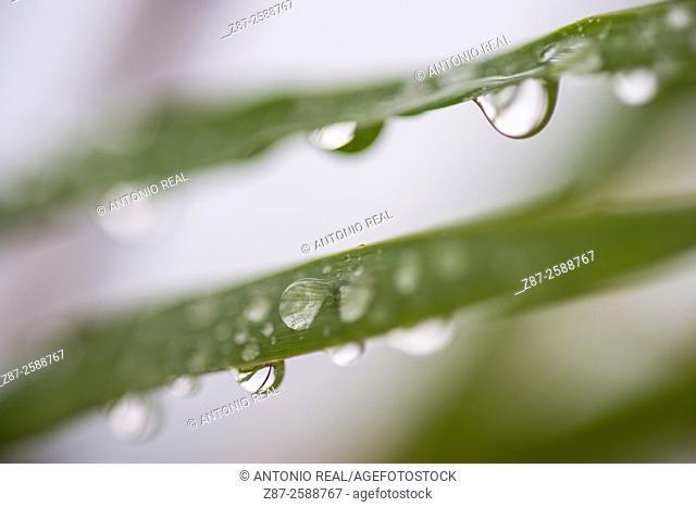 Rain drops, Giant Cane (Arundo donax), Almansa, Albacete province, Castilla-La Mancha, Spain