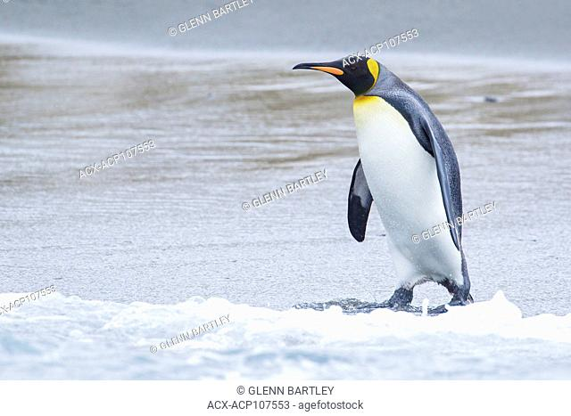 King Penguin (Aptenodytes patagonicus) perched on a rocky beach on South Georgia Island
