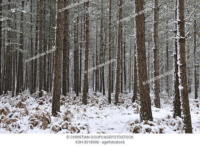 pine wood, Forest of Rambouillet in the snow near Poigny-la-Foret, , Haute Vallee de Chevreuse Regional Natural Park, Yvelines department, Ile de France region