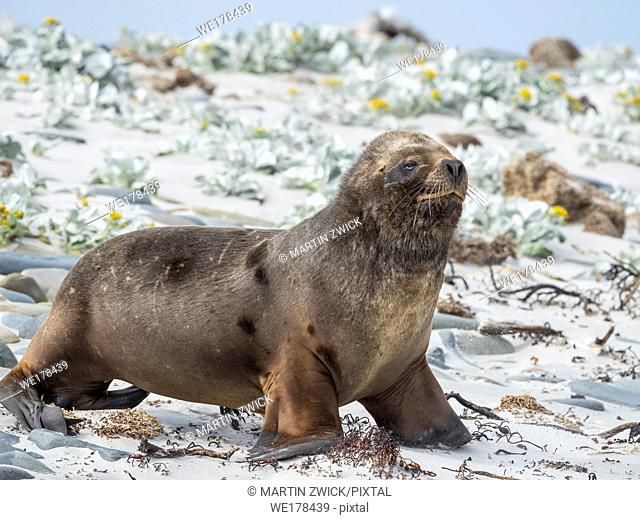Young bull on sandy beach. South American sea lion (Otaria flavescens, formerly Otaria byronia), also called the Southern Sea Lion or Patagonian sea lion