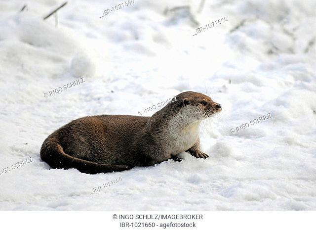 European Otter (Lutra lutra), natural environment, in the snow