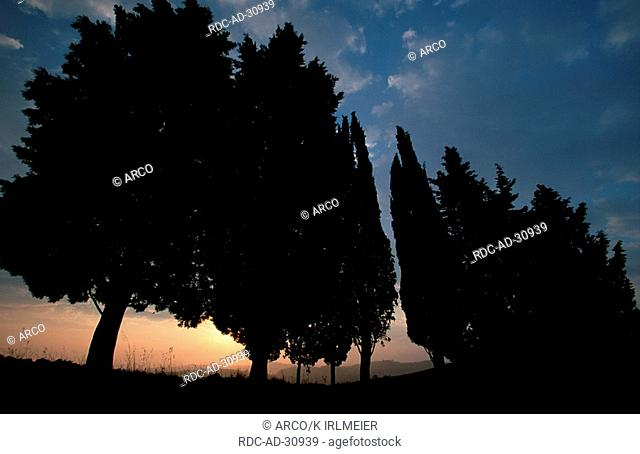 Italian Zypresses at dawn San Giovanni Tuscany Italy Cupressus sempervirens