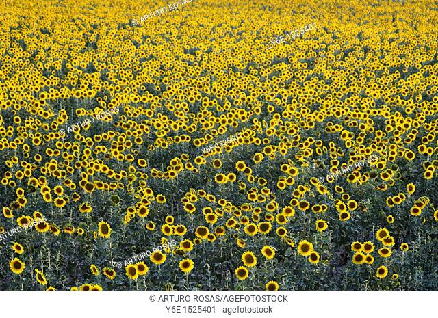 Sunflowers field Nº 2