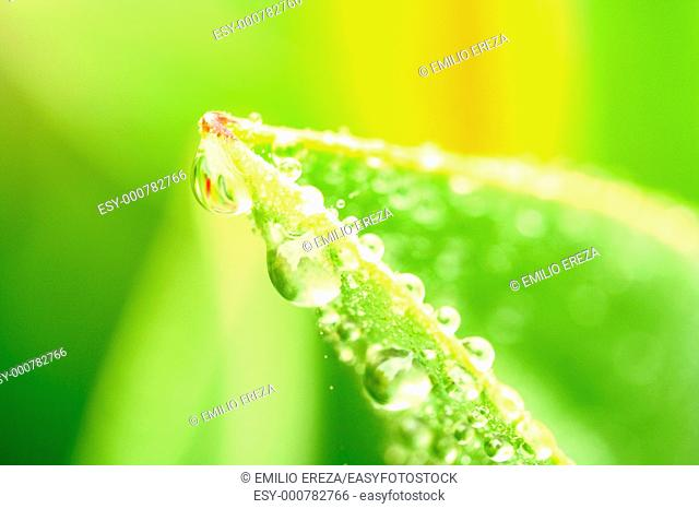 Droplets in tulip leaf
