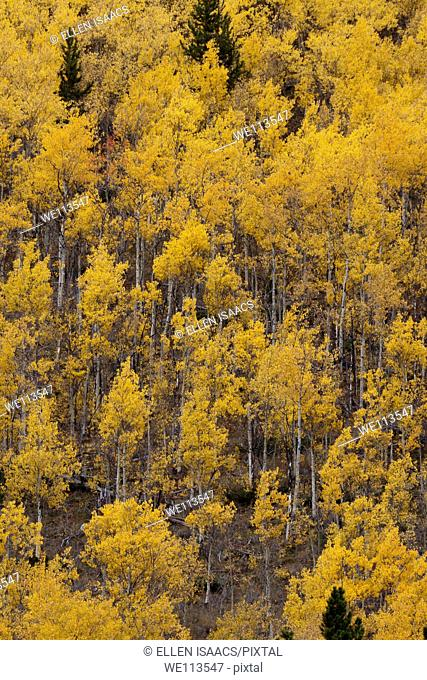 Steep hillside covered in grove of glowing yellow aspen trees in autumn