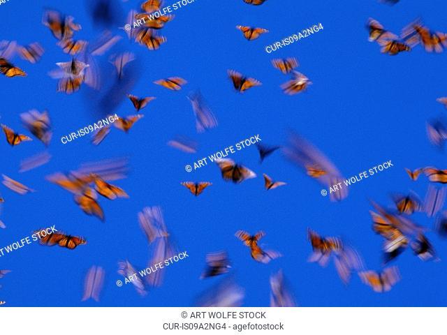 Monarch butterflies in flight, Mexico