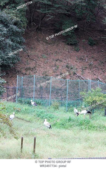 Township of white stork bird Japan