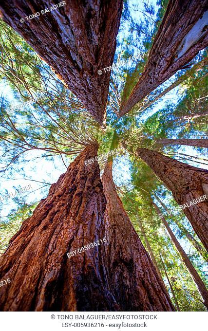Sequoias in California view from below at Mariposa Grove of Yosemite USA
