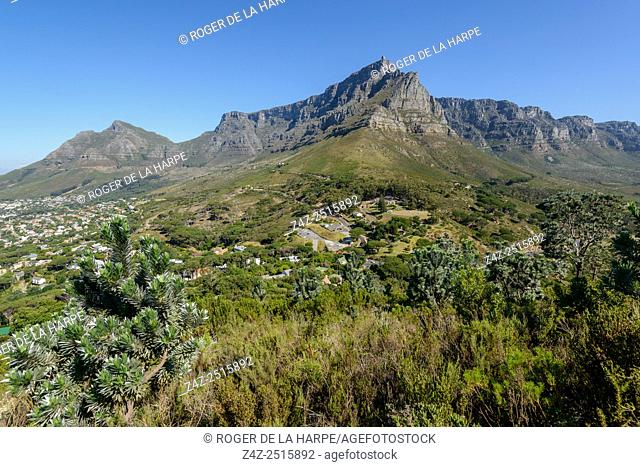 Table Mountain viewed from Lion's Head. with Silver tree, Silver leaf tree, Afrikaans: Witteboom, or Silwerboom (Leucadendron argenteum) in the foreground