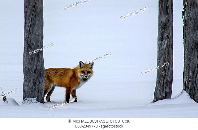 A red fox appears from behind the trees to search for its next meal