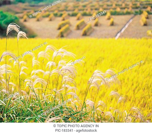 Reeds And Rice Field In Autumn,Korea
