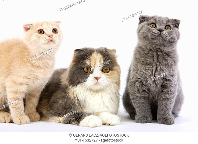 Blue Cream and White Highland Fold Female with 2 Months Old Kittens, Cream Scottish Fold and Blue Scottish Fold