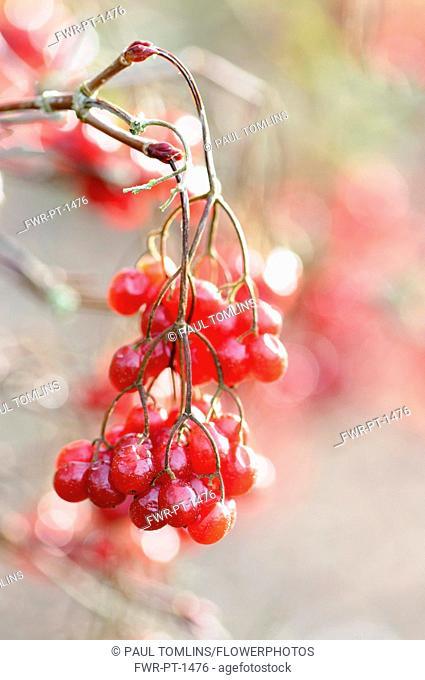 Birchleaf Viburnum, Viburnum betulifolium, Close view of clusters of bright red berries