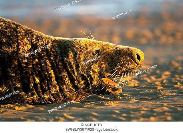 gray seal Halichoerus grypus, lying on the beach, Germany, Schleswig-Holstein, Heligoland