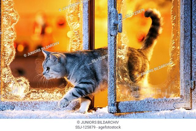 christmas : British Shorthair cat at window - frosted