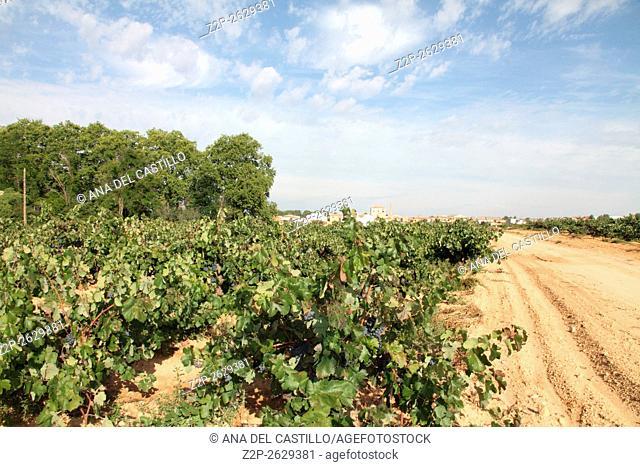 Bobal grapes Requena vineyards Valencia Spain